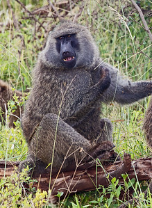big baboon