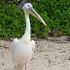 Big Bird a great white pelican
