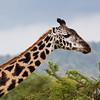 giraffe profile Serengeti