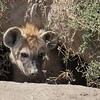 baby hyena in lair