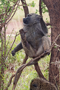 baboon in tree