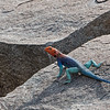 red-headed agama in Hadzaland