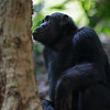 chimp starinng up tree