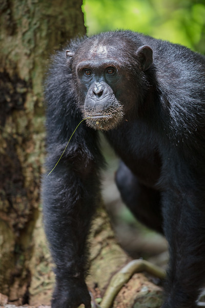 chimp with fishing straw in his mouth