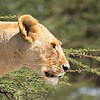 lioness in profile