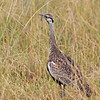 black-bellied bustard Serengeti