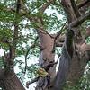 climbing a baobab tree 3