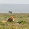 lion in grass with nonchalant zebra