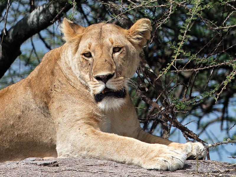 closeup lioness on rock