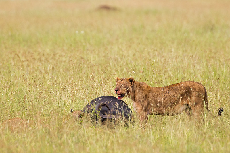 bloody bearded lioness w cape buffalo carcass
