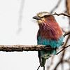 fluffy lilac-breasted roller