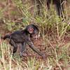 crawling baby baboon