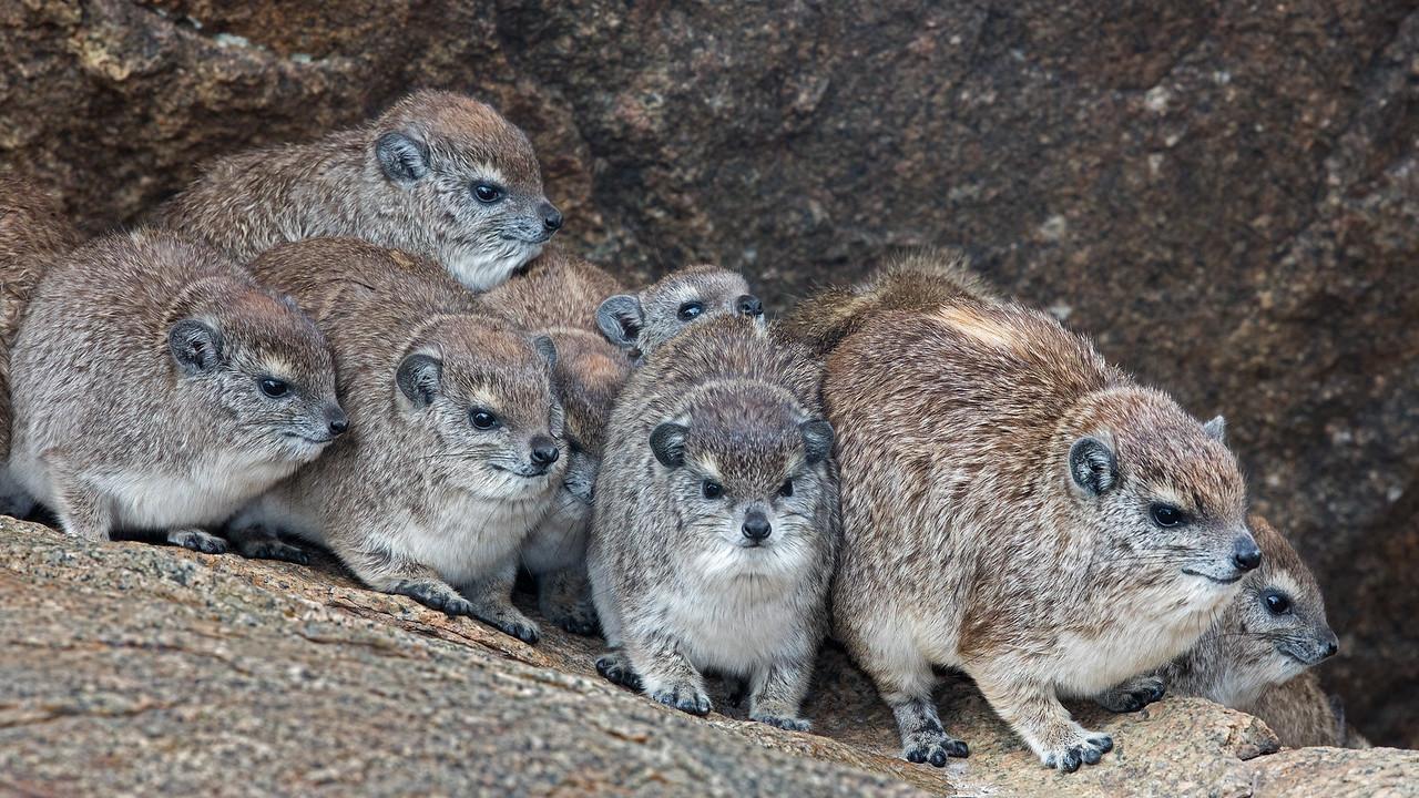 cuddling hyraxes