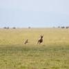 cheetah still chasing topi