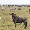 wildebeest and friends