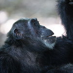 closeup profile of chimp fishing for ants