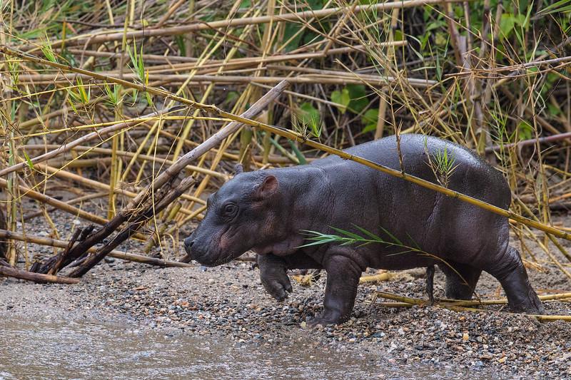 baby hippo entering river