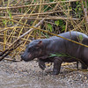 baby hippo entering river