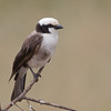 portrait of a northern white-crowned shrike