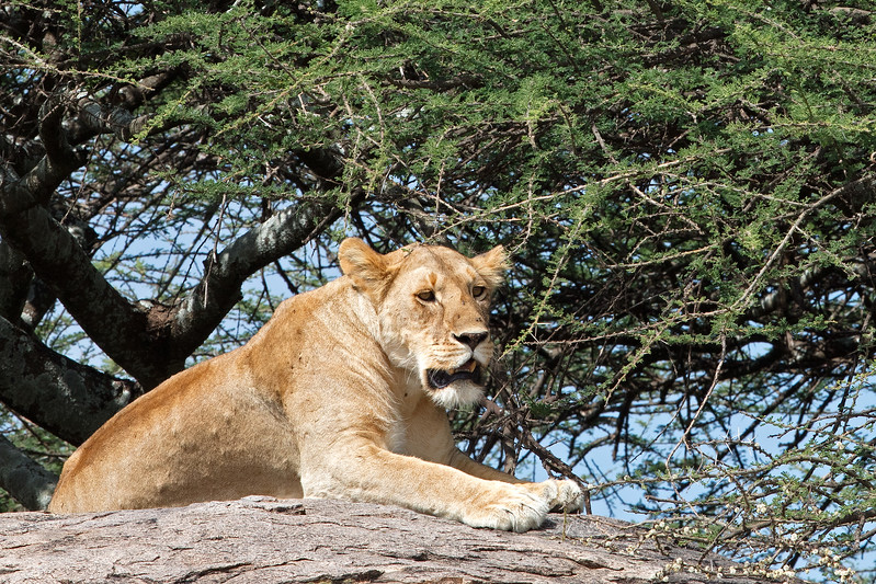 another view of a lioness on a rock