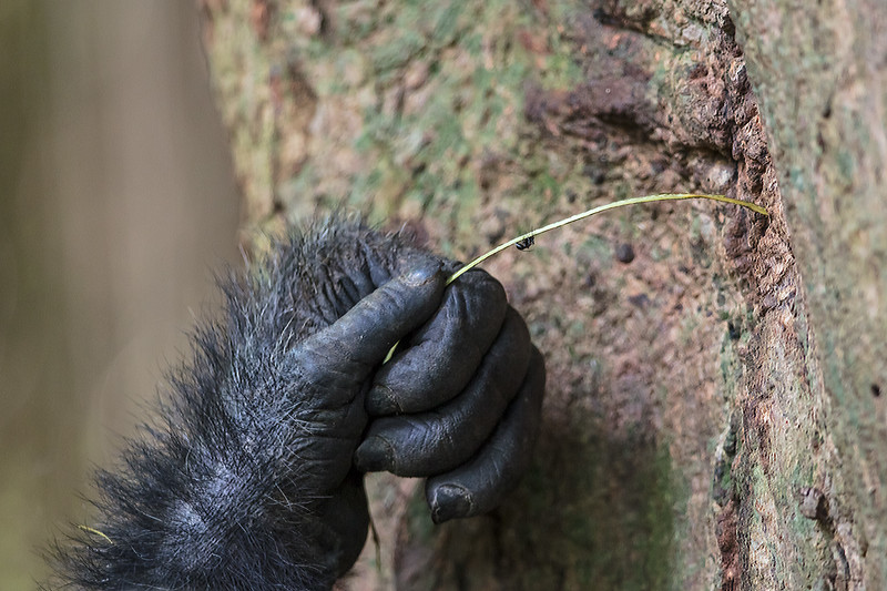 chimp hand with ant fished from tree on stem