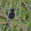 a bronze sunbird