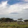zebras acacias blue sky