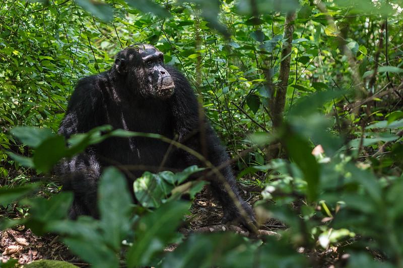 chimp in the bush