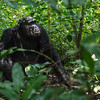 chimp in the bush