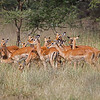 small herd of impala