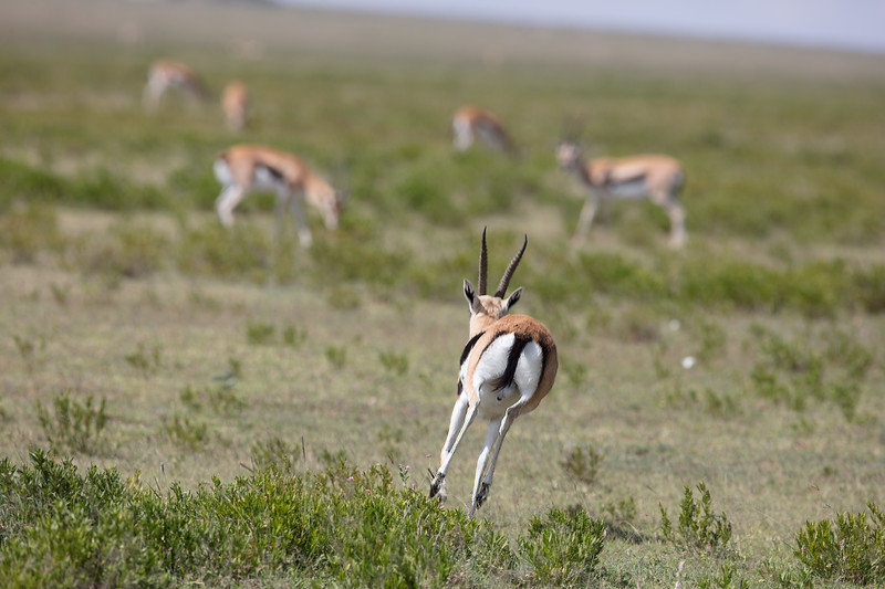 bounding gazelle