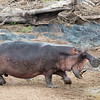 ugly broken-toothed male hippo