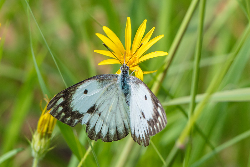 bluish bodied butterfly
