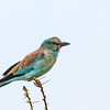European roller on thornbush white backdrop
