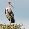 ugly marabou stork on a treetop