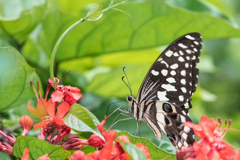 citrus swallowtail feeding on red flowers