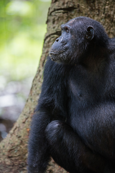 chimp profile in front of tree