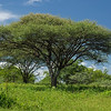 acacia tree in Hadzaland
