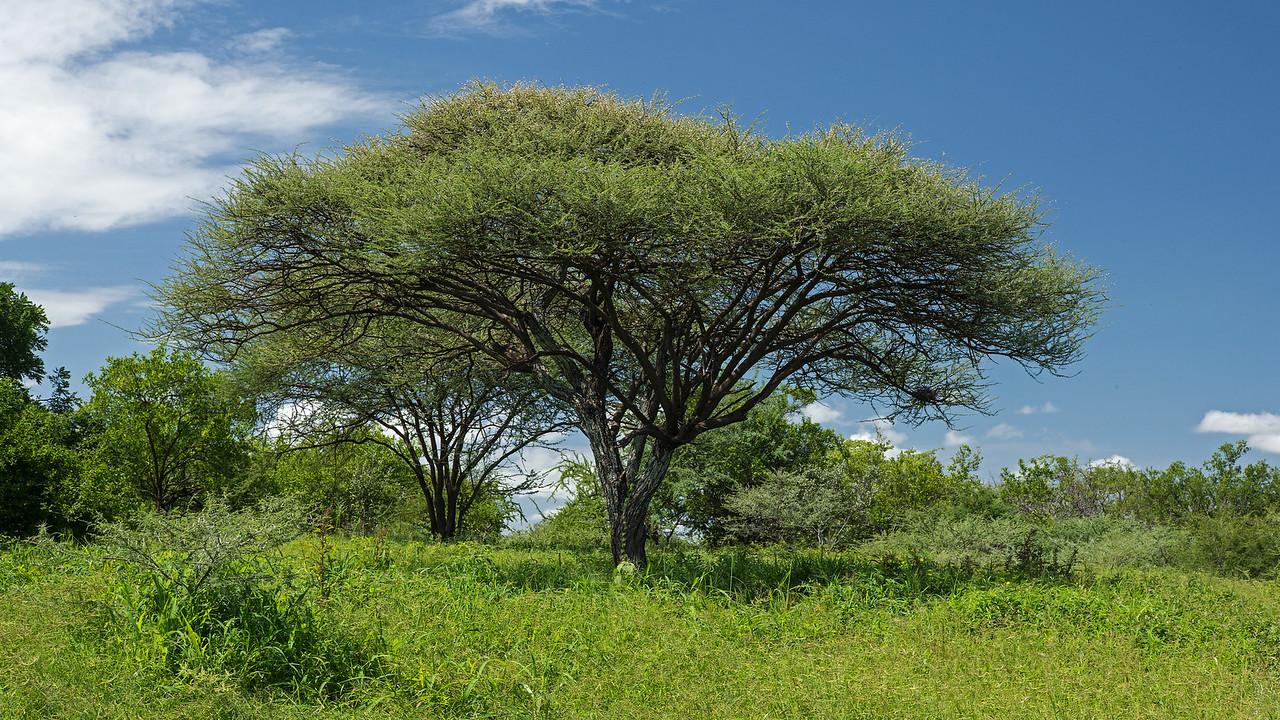 acacia tree in Hadzaland