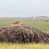 lion on a rock