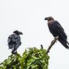 two white-naped ravens