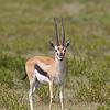 portrait of a Thomson's gazelle