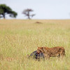 lioness with bloody mouth from gnawing on cape buffalo