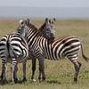 three confusing zebras