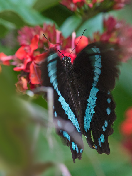 broad-banded green swallowtail in alighting