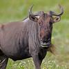 wildebeest stare