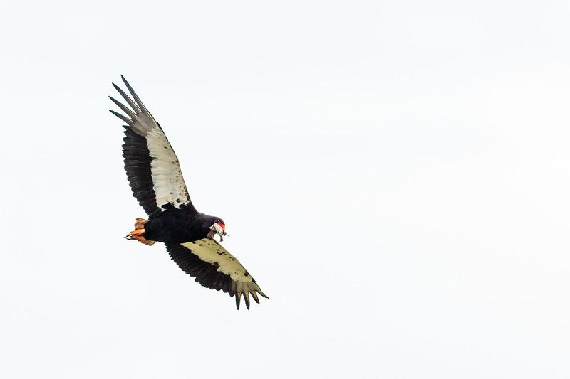bateleur with bird in beak 2
