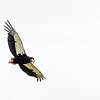 bateleur with bird in beak 2
