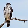 augur buzzard Serengeti