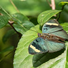 Iridescent Forester butterfly maybe